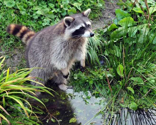 Raccoon at pond