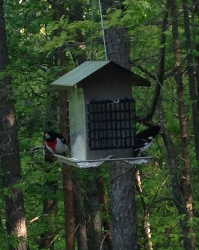 Rose-breasted Grosbeaks at our feeder