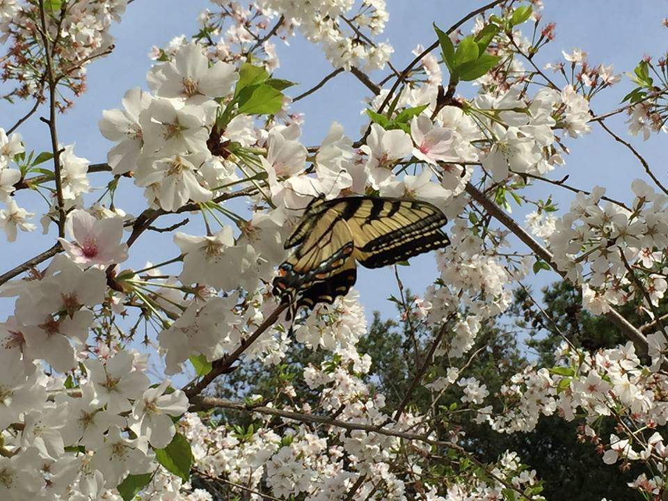 Butterfly on cherry blossoms
