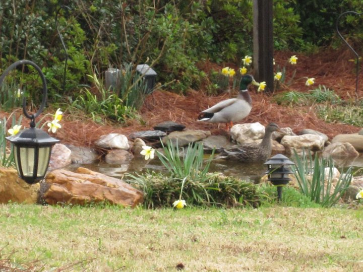 Ducks at our pond