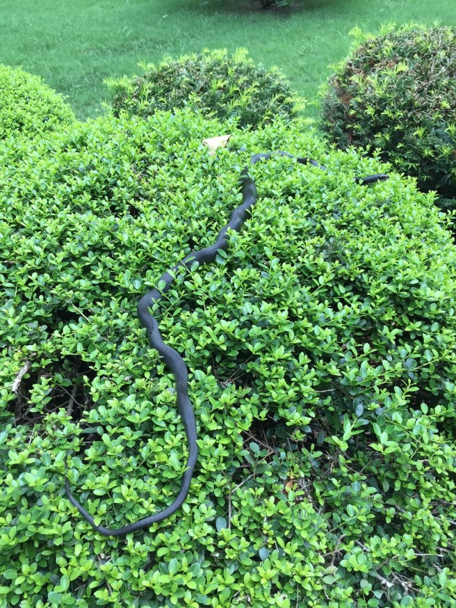 Black rat snake resting on our holly shrub