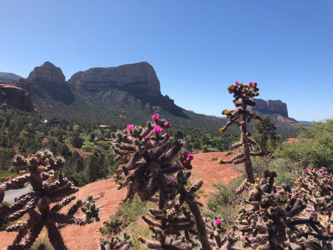 Blooming cacti near Sedona