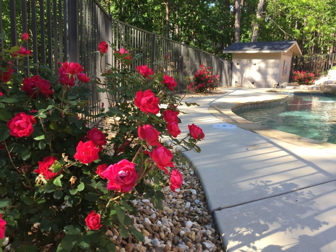 Poolside Knockout Roses