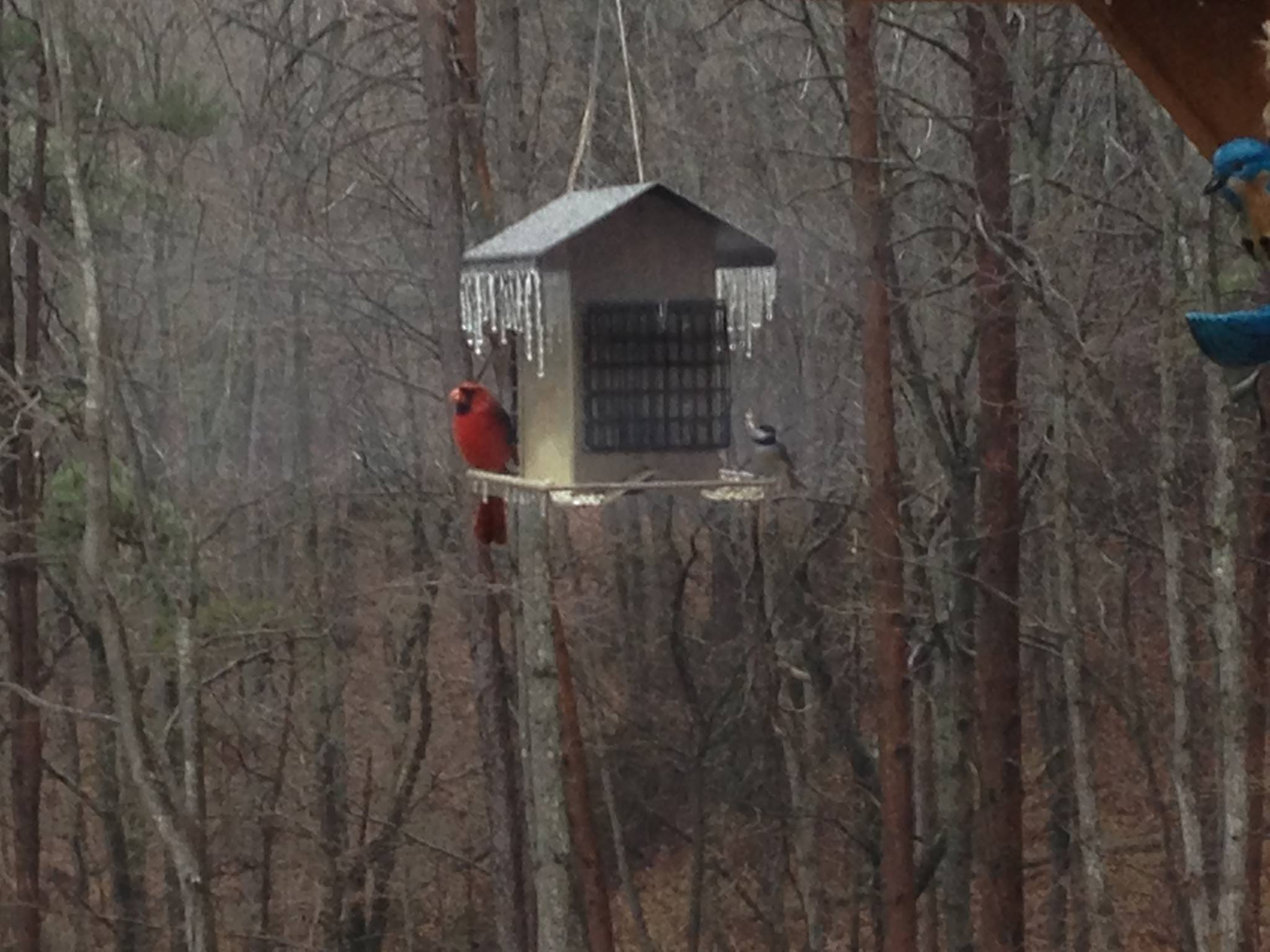 Cardinal and Chickadee on a frozen feeder