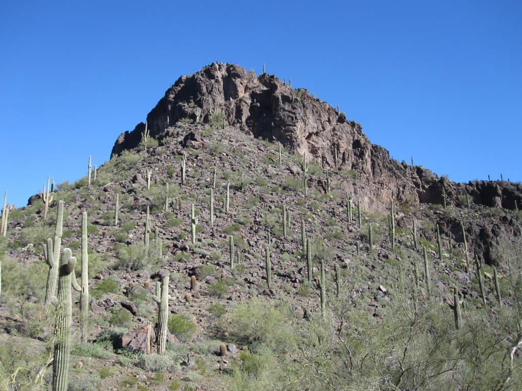 Hillside of cacti in the Sonoran Desert, Arizona
